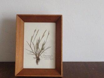 【身近な植物標本】スズメノテッポウの画像
