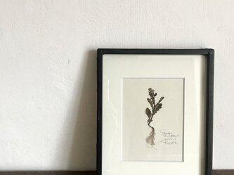 【身近な植物標本】ノボロギクの画像