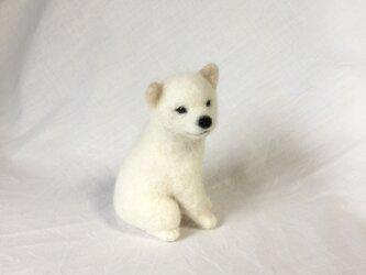 白柴の子犬の画像