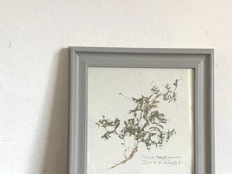 【身近な植物標本】カスマグサの画像