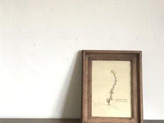 【身近な植物標本】ハハコグサの画像