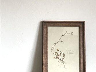 【身近な植物標本】トキワハゼの画像