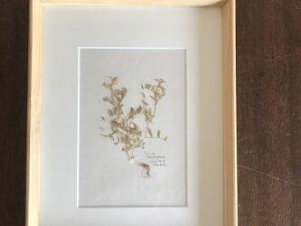 【身近な植物標本】カスマグサ の画像
