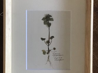 【身近な植物標本】ヒメオドリコソウの画像