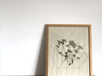 【身近な植物標本】アメリカフウロ の画像