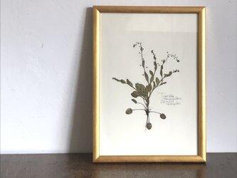【身近な植物標本】キュウリグサ の画像