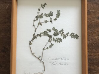 【身近な植物標本】コニシキソウ の画像