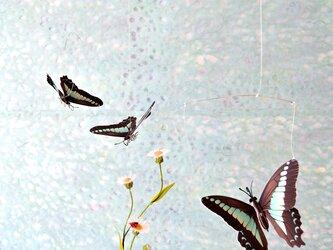アオスジアゲハと姫女苑の画像
