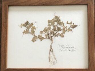 【身近な植物標本】カラスノエンドウの画像