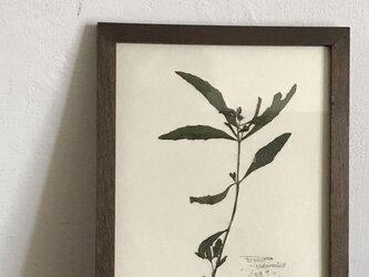 【身近な植物標本】タカサブロウ の画像