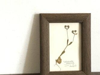 【身近な植物標本】ノヂシャ の画像