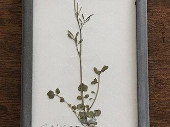 【身近な植物標本】タネツケバナの画像