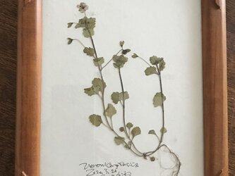 【身近な植物標本】オオイヌノフグリの画像
