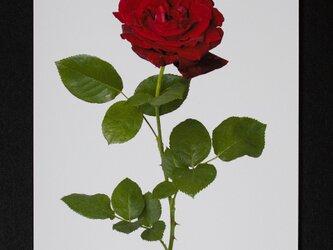 バラのポストカード ジョゼフィン・ブルースの画像