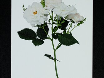 バラのポストカード アルバ・セミプレナの画像
