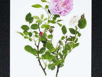 バラのポストカード ピンク・サマースノー・クライミングの画像