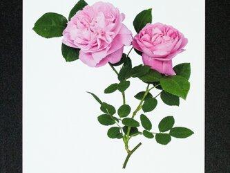 バラのポストカード メアリー・ローズの画像