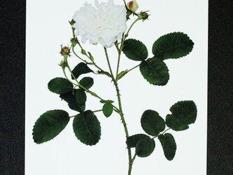 バラのポストカード ホワイト・プロバンスの画像