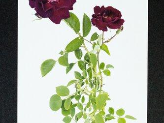 バラのポストカード ドクター・ヒューイの画像
