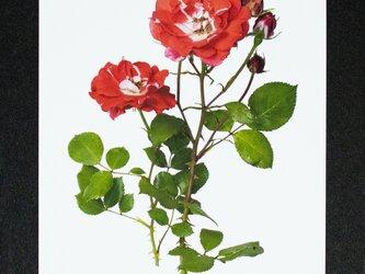 バラのポストカード ピカソの画像