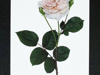 バラのポストカード グレイ・パールの画像