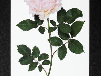 バラのポストカード ラ・マリエの画像