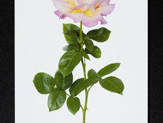 バラのポストカード シカゴ・ピースの画像