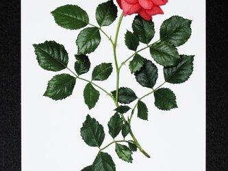 バラのポストカード クリストファー・マーロウの画像