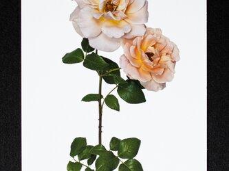 バラのポストカード ロイヤル・サンセットの画像