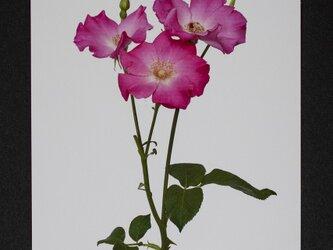 バラのポストカード エレ・エレの画像