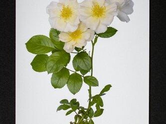 バラのポストカード メリーアン・ド・ラマルティーヌの画像