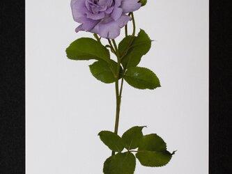 バラのポストカード プリンシペ・アスールの画像