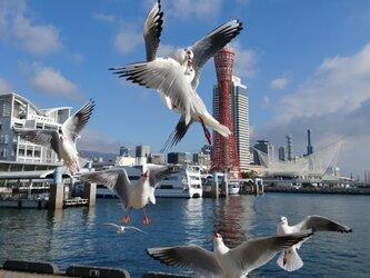 みなと神戸に咲く華 「ユリカモメ」 「カモメのいる暮らし」 A3 サイズ光沢写真縦 写真のみ 神戸風景写真の画像