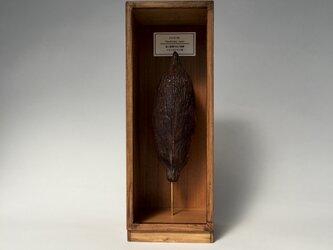 カカオの実標本その一。の画像