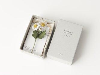 herbier/マトリカリアの画像