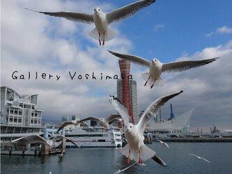 みなと神戸に咲く華 「ユリカモメ」 「カモメのいる暮らし」 A4サイズ光沢写真縦 写真のみ 神戸風景写真の画像