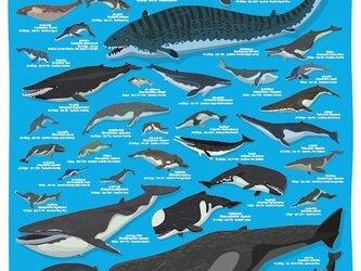 クジラの進化A2ポスターの画像