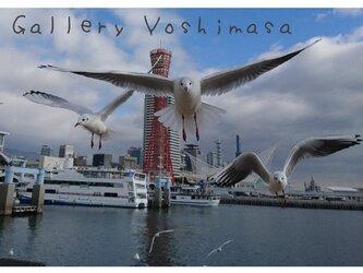 みなと神戸に咲く華 「ユリカモメ」 「カモメのいる暮らし」 A4サイズ光沢写真横  写真のみ 神戸風景写真の画像