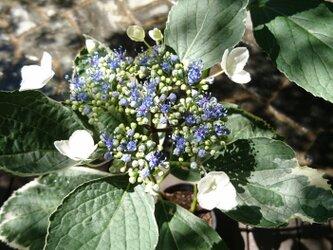 母の日のプレゼントに 斑入りガクアジサイ 苗木 (約25~40㎝)  白い縁取りのある明るい葉を持つ紫陽花ですの画像