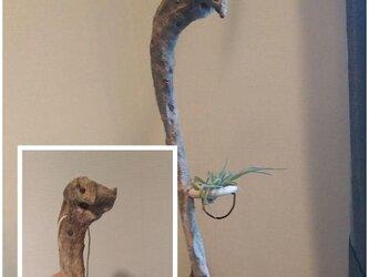 見下ろすデビル(流木+観葉植物)の画像