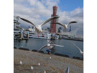 みなと神戸に咲く華 「ユリカモメ」 「カモメのいる暮らし」 2L判サイズ光沢写真縦 写真のみ 神戸風景写真の画像