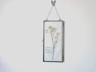 植物標本 ■ 押し花の壁掛けフレーム  縦長サイズ ■ かすみ草 プチパールの画像