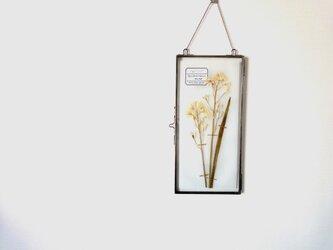 植物標本 ■ 押し花の壁掛けフレーム  縦長サイズ ■ シラー・カンパニュラータ ホワイトの画像