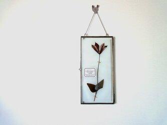 植物標本 ■ 押し花の壁掛けフレーム  縦長サイズ ■ クレマチス グラベティー 上向きの画像
