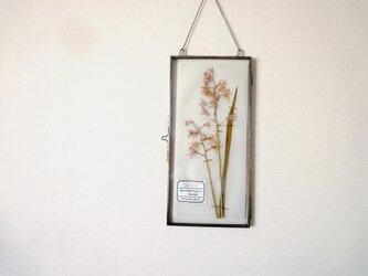 植物標本 ■ 押し花の壁掛けフレーム  縦長サイズ ■ シラー・カンパニュラータ ピンクの画像