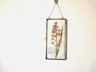 植物標本 ■ 押し花の壁掛けフレーム  縦長サイズ ■ シラー・カンパニュラータ パープルの画像