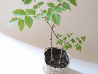 アオダモ 現品苗木 側枝の面白い樹形2本立ち 白い樹皮 (約15~20cm)の画像
