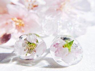 氷の桜 啓翁桜のピアス サージカルステンレス 金属アレルギー対応の画像