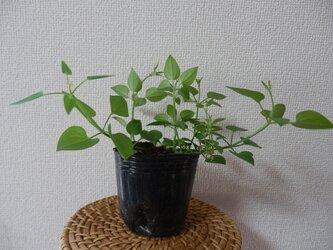 日本茜の苗2の画像