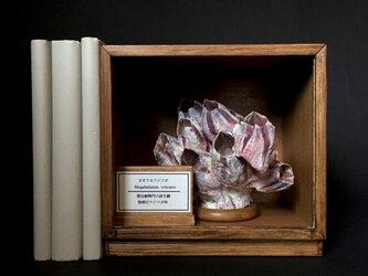 オオアカフジツボの標本。の画像